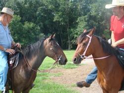 Galiceno Horses