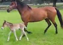 Paso FIno Gaited Foals