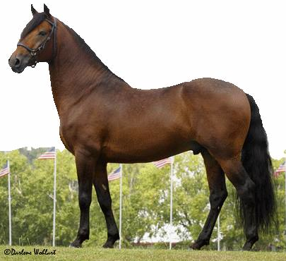 Paso Fino Stallion, Resorte de Zorro Rojo