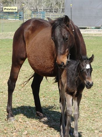 Galiceno mare and foal.