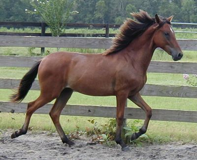 Paso Finos are naturally gaited.