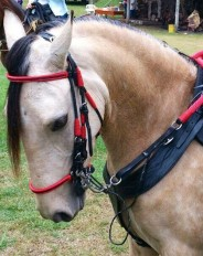 red custom bridle