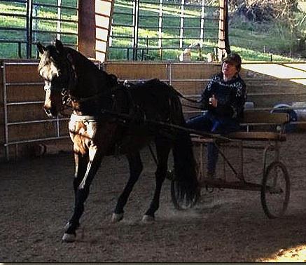 paso fino stallion 9