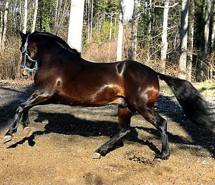 paso fino stallion 3