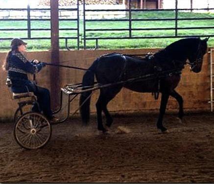 paso fino stallion 4