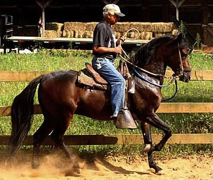 paso fino stallion 5