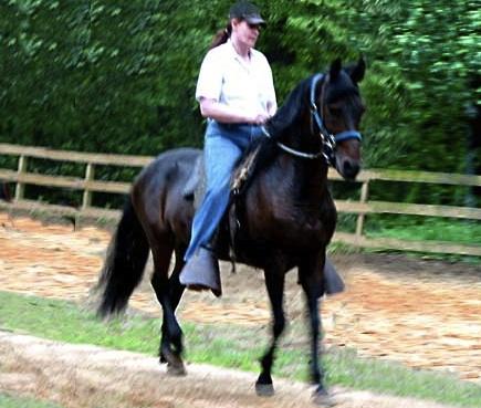 paso fino stallion 8