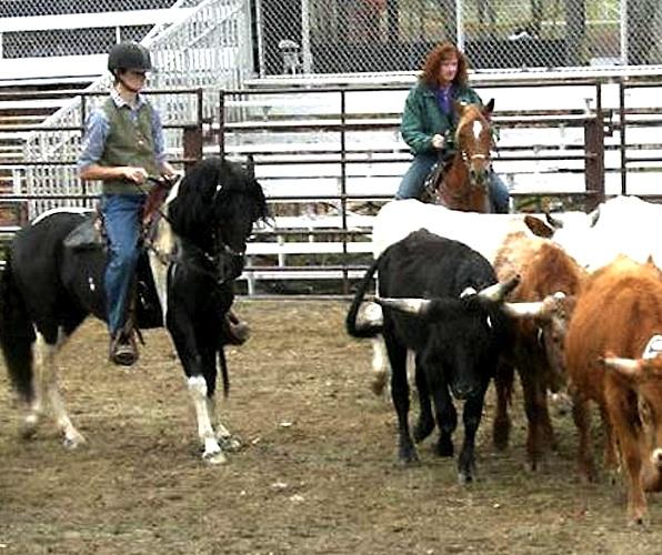 Paso Fino cow sorting