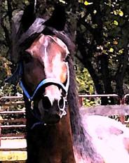 Bay Paso Fino Stallion Ecard