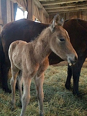 One Day Old Paso Fino Filly