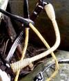 5-010-bridlecream