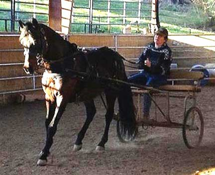 Paso Fino stallion pulling a cart
